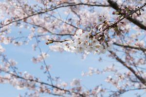 黒目川の桜はほぼ満開