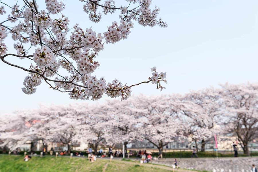 桜満開!黒目川の花見(2018年)