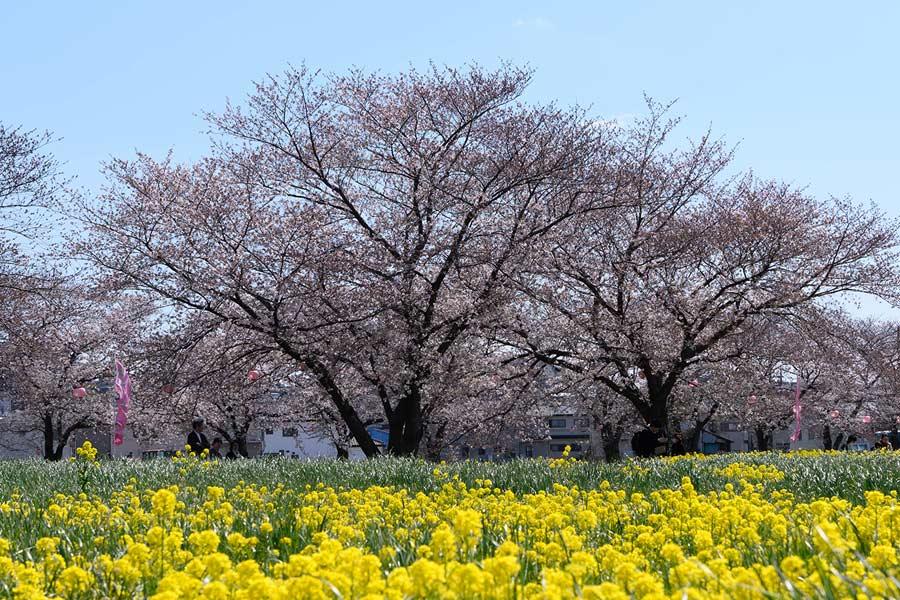 黒目川の桜はまだ八分咲き(2019年)
