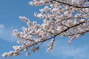 黒目川の桜(2020年)